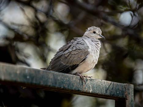 Raggedy Dove