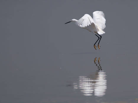 Egret Skims The Lake - II
