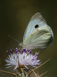 Thistling Butterfly