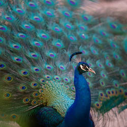 Argus Bird - II