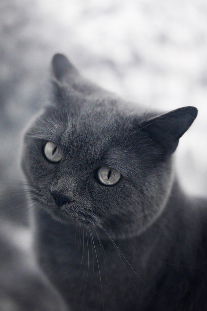 British Shorthair in infrared by ReneWarich