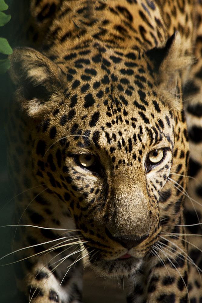 Leopard by ReneWarich