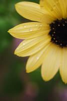 sunflower by hgreene52407