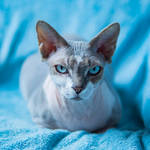 Pixie the Sphynx by andrewfphoto