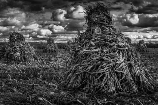 Stooked Corn