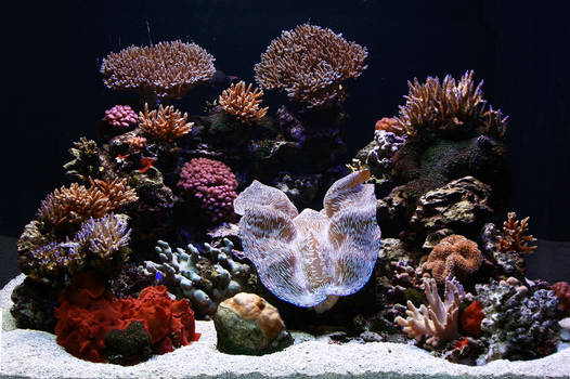 SPS Coral and Crocea display