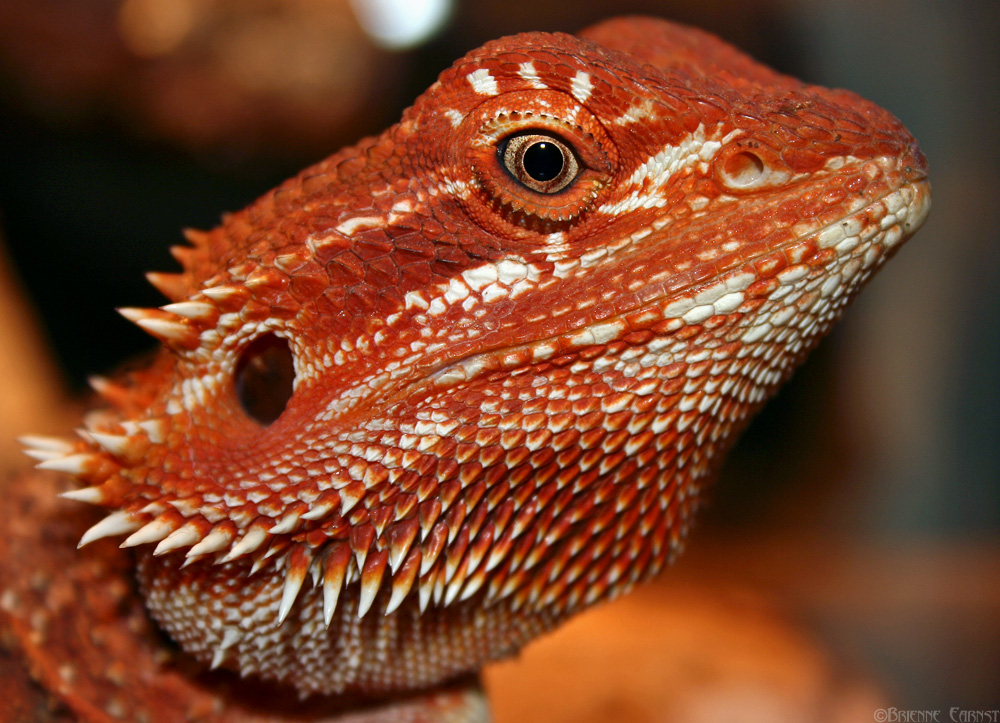 Pictures of Red Baby Bearded Dragons - #rock-cafe