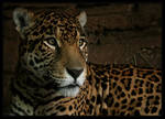 WPZ - Junior the Jaguar