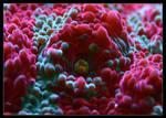 Chalice coral, 'eye' macro