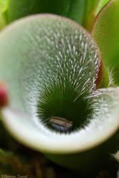 H. pulchella pitcher detail by oOBrieOo