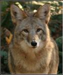 Brother Coyote II