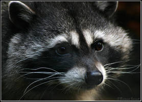 Raccoon portrait by oOBrieOo