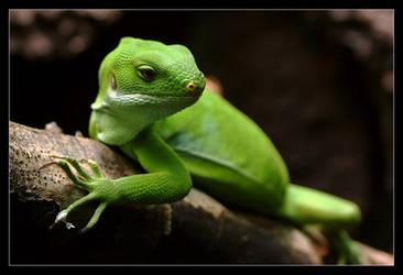 Fiji Island Iguana by oOBrieOo