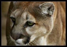 Cougar by oOBrieOo