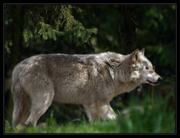 Grey Wolf by oOBrieOo