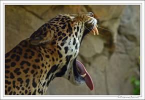 Jaguar's yawn... by oOBrieOo