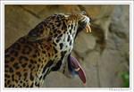 Jaguar's yawn...