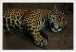 Jaguar sleepytime