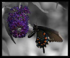 Pipevine Swallowtail by oOBrieOo