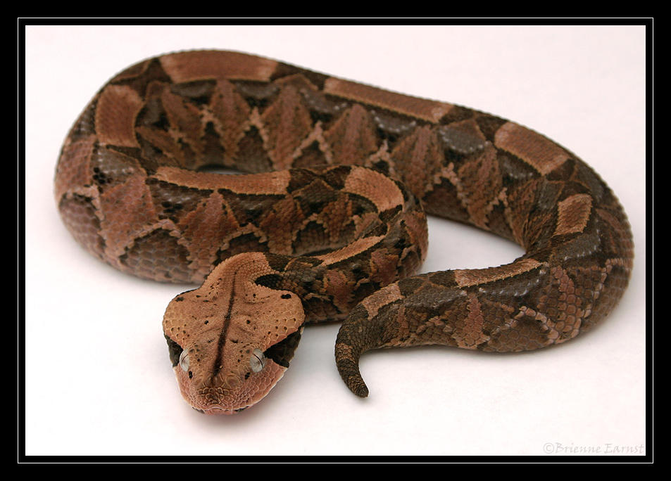 Gaboon Viper, light box by oOBrieOo