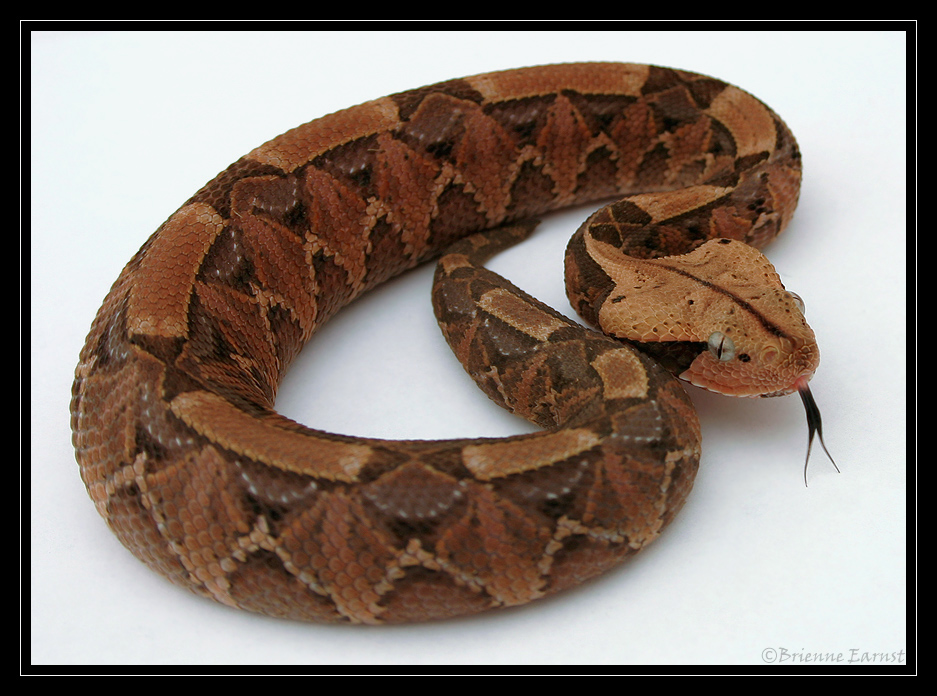 Gaboon Viper light box 3 by oOBrieOo on DeviantArt
