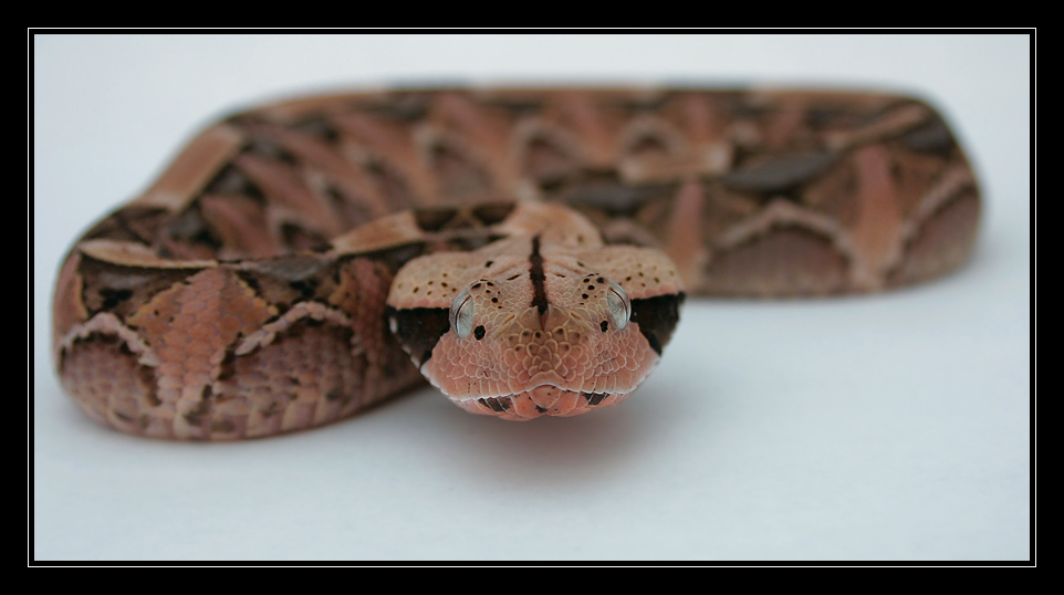 Gaboon Viper Face Off By Oobrieoo On Deviantart