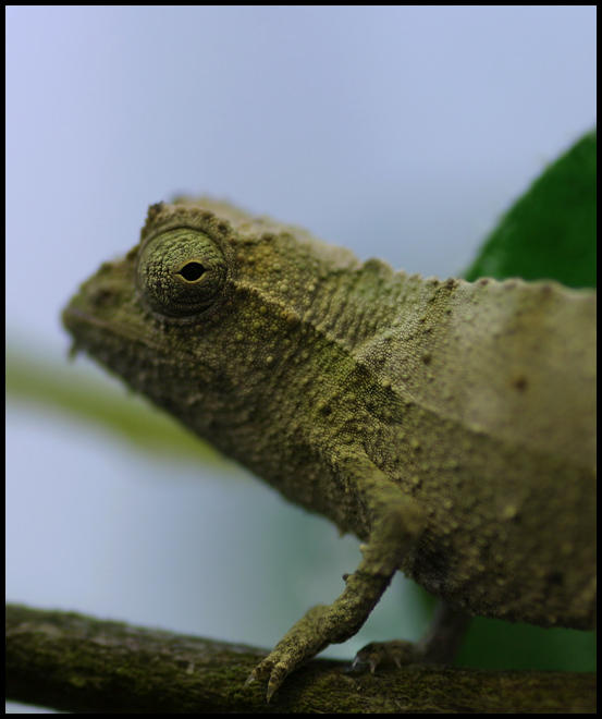 Stump Tailed Chameleon By OOBrieOo On DeviantART