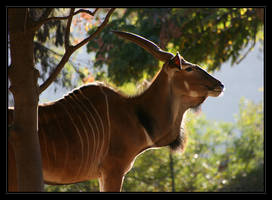 Greater Eland by oOBrieOo