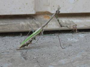 Mantis Religiona