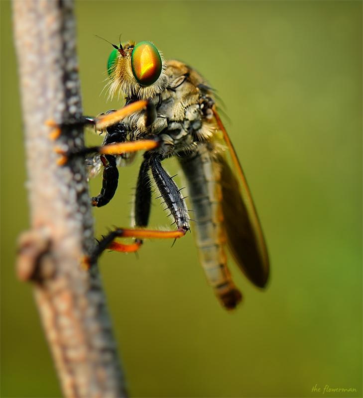 Robberfly by GregoriusSuhartoyo