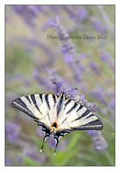 Flight over Lavender by Tanya-May