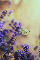 butterfly on lavender by CliffWFotografie