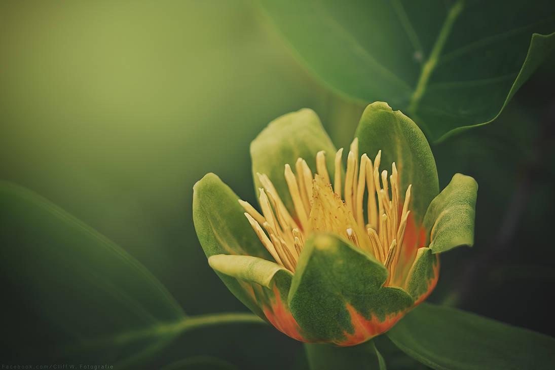 Liriodendron tulipifera by CliffWFotografie