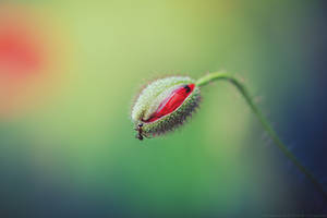 the poppy and the ant by CliffWFotografie