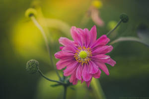 lovely anemone by CliffWFotografie