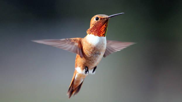 Humming Bird Colorado 2010
