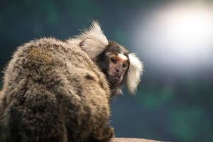Common marmoset by xathra