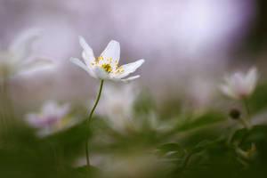 Anemone nemorosa by xathra