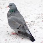 Slightly happy pigeon