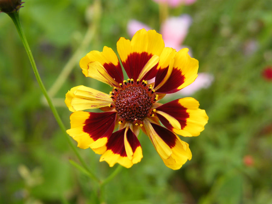 Red and Yellow flower by Didier-Bernard