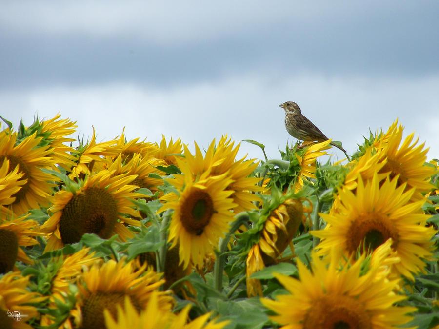 oiseau au tournesol 02 by Didier-Bernard