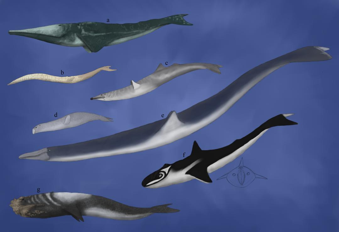 TFIF concept, Balaenorhincha diversity by Dragonthunders