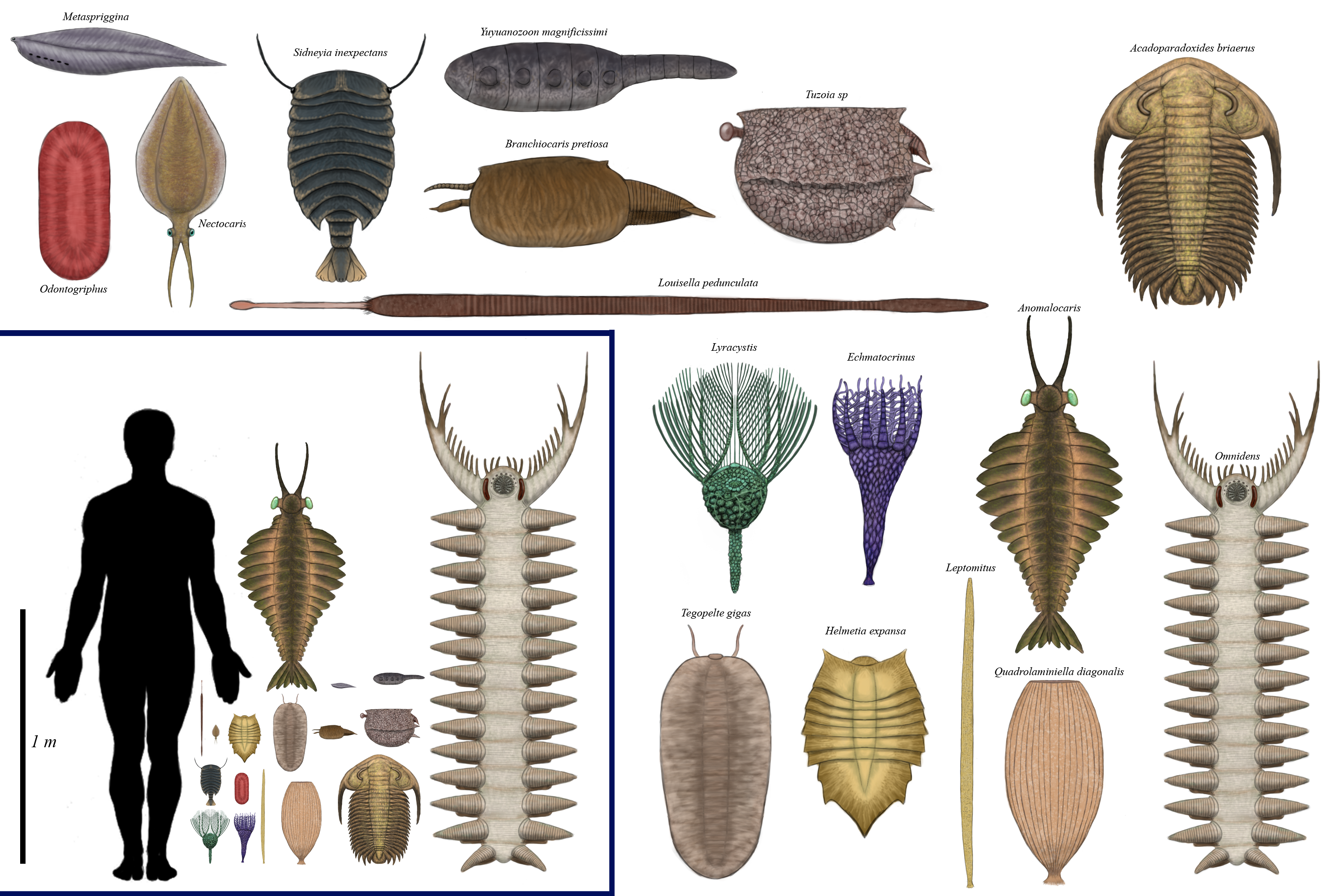 History size chart: Cambrian by Dragonthunders on DeviantArt