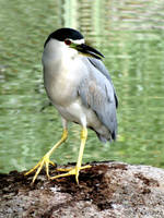 Black-Crowned Night Heron by sarah2231