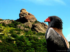 Bateleur Eagle by sarah2231
