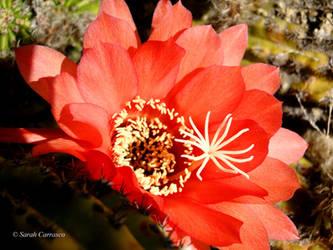 Desert Flower by sarah2231