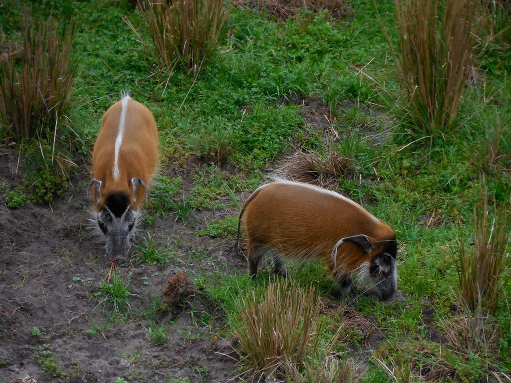 Red African Bush Pigs pic2 by ToaDJacara