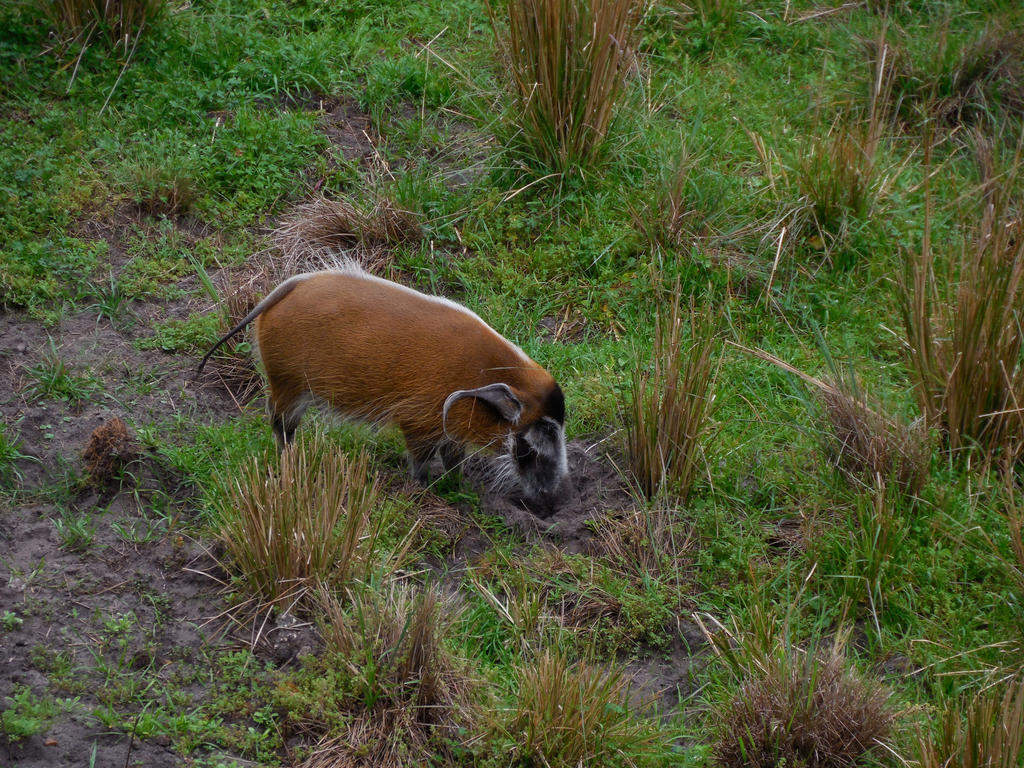 Red African Bush Pig by ToaDJacara