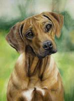 Rhodesian Ridgeback pastel portrait by lluvia-estival