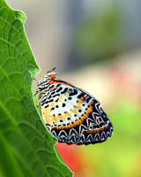 Lacewing Butterfly by TheSleepyRabbit